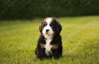 Bernese Mountain Dogs Puppy
