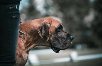 17 Best Guard Dogs: Breeds Known for Bravery