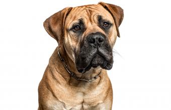 American Mastiff Dog