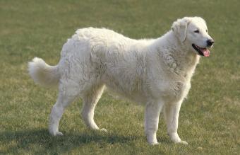 Kuvasz Dog Adult