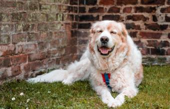 Great Pyrenees mixed-breed dog