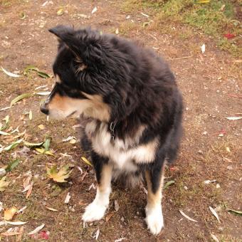 Bernese and husky mix dog