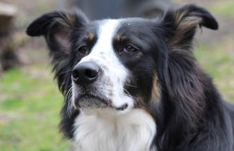 Border collie and Bernese mountain dog mix