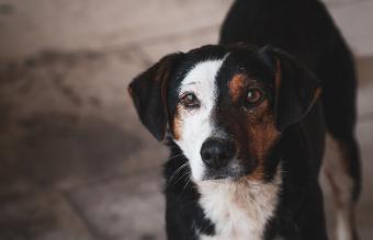 Bernese Mountain Dog Beagle Mix