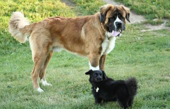 Bernese Mountain Dog St. Bernard Mix
