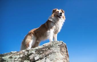 Bernese Mountain Dog Golden Retriever Mix