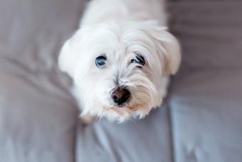 Maltese dog looking at the camera