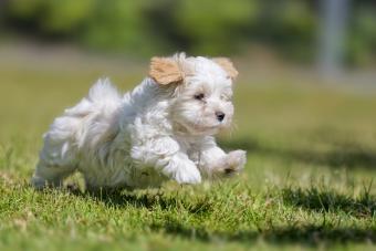 Havanese puppy running on green grass