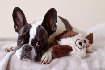 French Bulldog with Stuffed toy