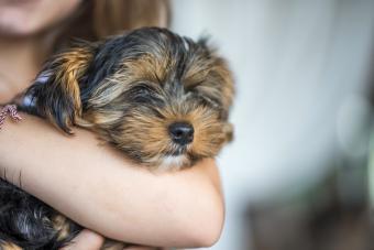 12 Lazy Dog Breeds Made for Cuddling