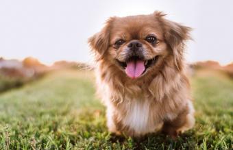 15 Esteemed Chinese Dog Breeds