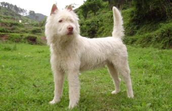 Xiasi Quan dog