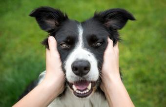 Beautiful Border Collie dog