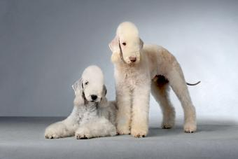 Bedlington Terrier: Guide to a Unique Dog Breed