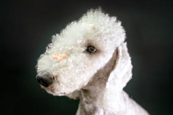 Training Bedlington Terrier with treats