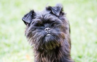 Affenpinscher Breed Guide: Small Dogs With Big Personality