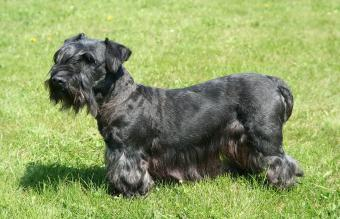 Cesky Terrier: Profile of a Rare & Clever Dog Breed