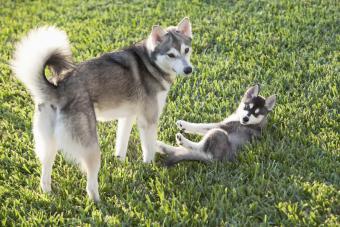 Alaskan Klee Kai Profile: A Smart & Striking Dog Breed