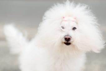 Bolognese Dog Breed: Profile of a Popular Companion