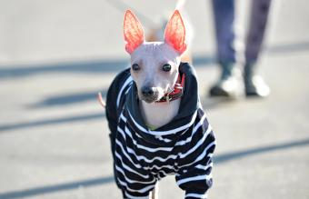 American Hairless Terrier Breed Overview and Background