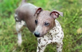 American Hairless Terrier dog