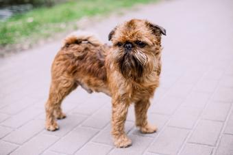 Brussels Griffon Guide: A Lively & Intelligent Dog Breed