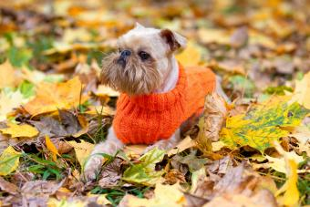 Brussels Griffon dog in the park