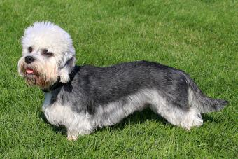 Dandie Dinmont Terrier Profile: A Smart, Devoted Breed