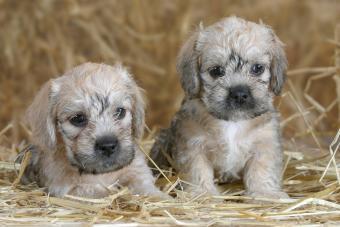 Dandie Dinmont Terrier, puppies, 6 weeks