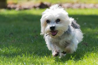 Dandie Dinmont Terrier running in field