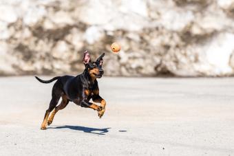 Manchester Terrier fetching ball