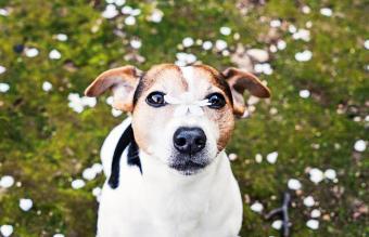 Japanese Terrier Dog breed