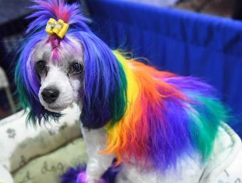 Colorful Lowchen dog