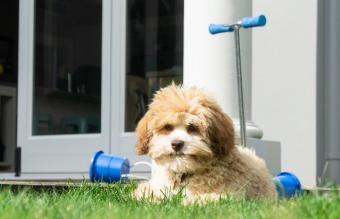 Lowchen puppy