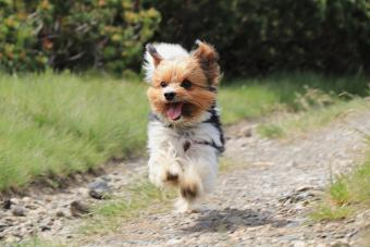 Biewer Terrier in run position with tongue out