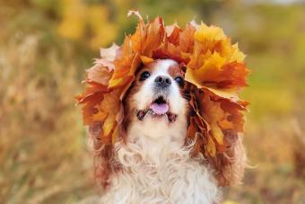 King charles spaniel wearing leafs wreath on head