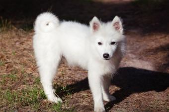 White Japanese Spitz puppy