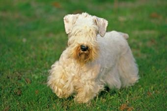 Sealyham Terrier Dog, Adult standing on Grass