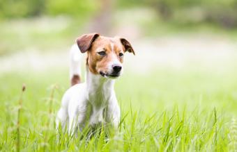 Danish-Swedish Farm Dog