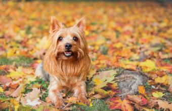Golden silky terrier