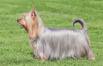 Typical Australian Silky Terrier