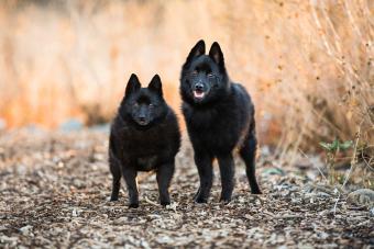 Two Schipperke breed dogs