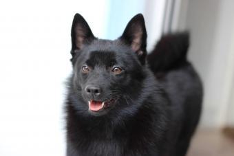Black Schipperke Breed Dog
