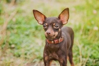 Russian Toy Terrier: A Small Dog Breed Big on Charm