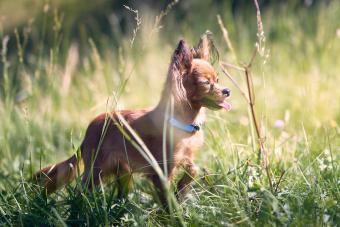 Russian Toy Terrier Walking