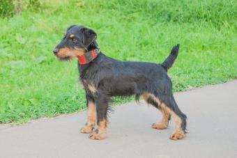 German hunting terrier (jagdterrier)