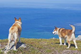 Two Norwegian Lundehund dogs