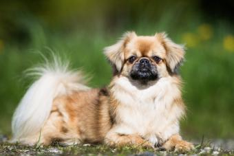 Tibetan Spaniel: An Overview of the Playful Breed