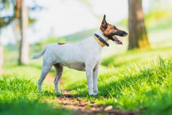 Smooth fox terrier at park
