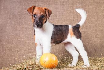 Smooth fox terrier puppy